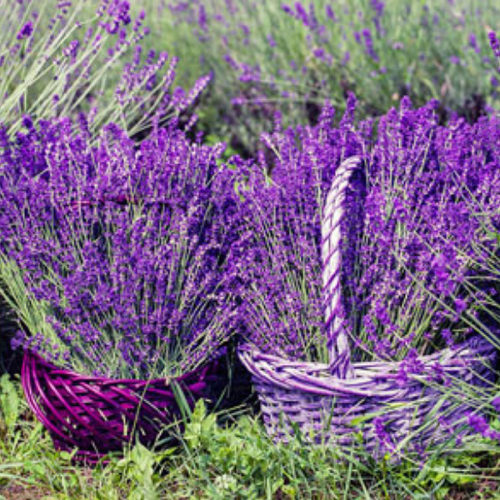 lavender-website